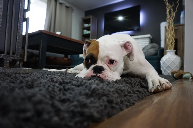 bulldog lying on the carpet