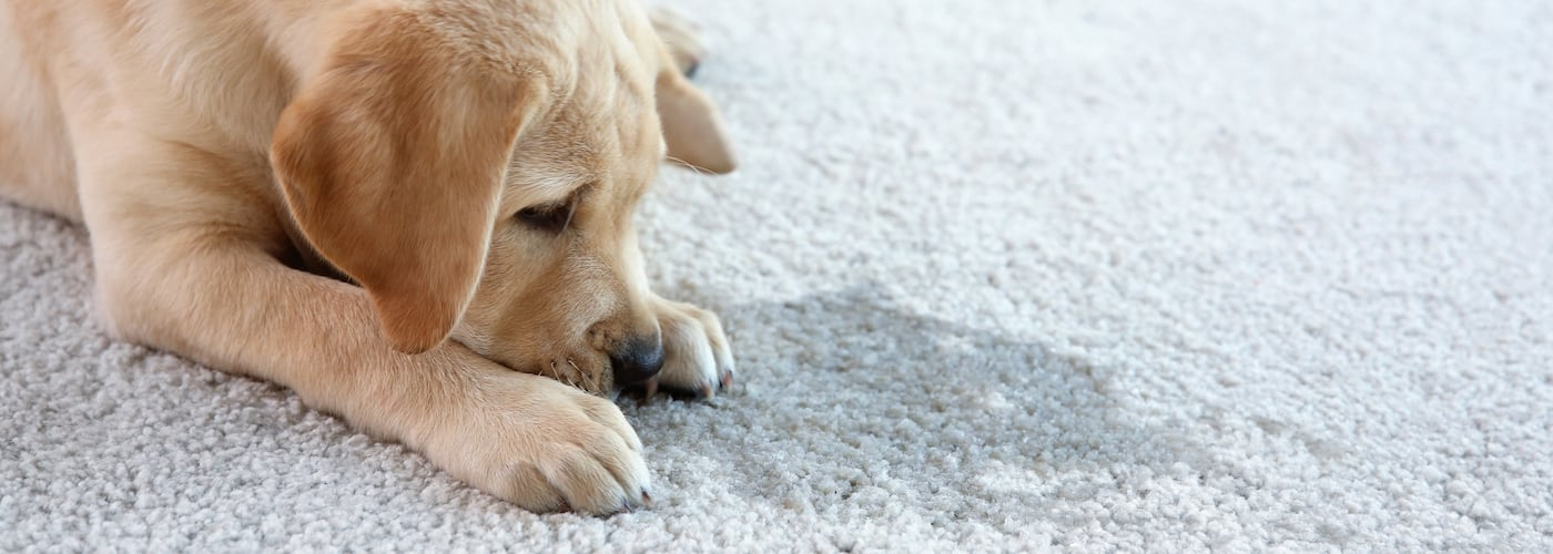 The Dangers of Pet Urine in Your Home